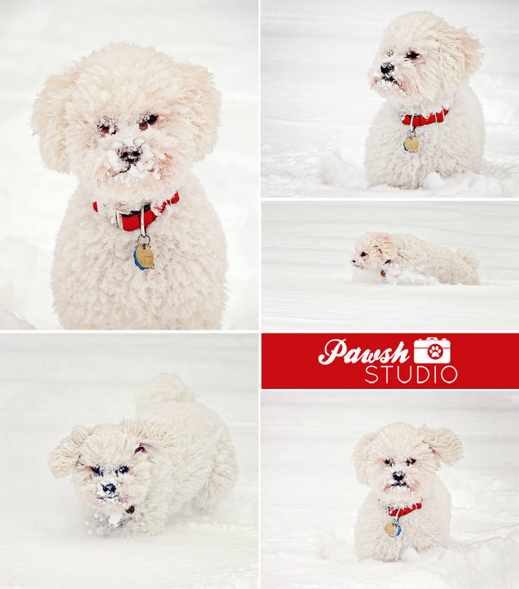 Toronto-pet-photographer-Pawsh-Studio-snowy-dogs-750